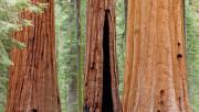 Древесина калифорнийской секвойи
