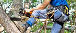 Кронирование деревьев - зачем это нужно